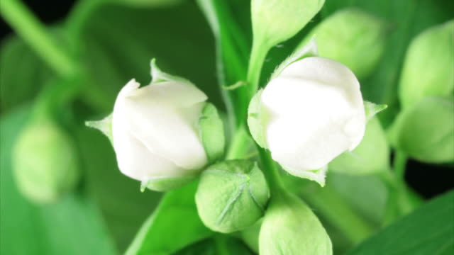 White wild roses flowers blooming HD video