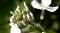 White wildflowers and bud. video