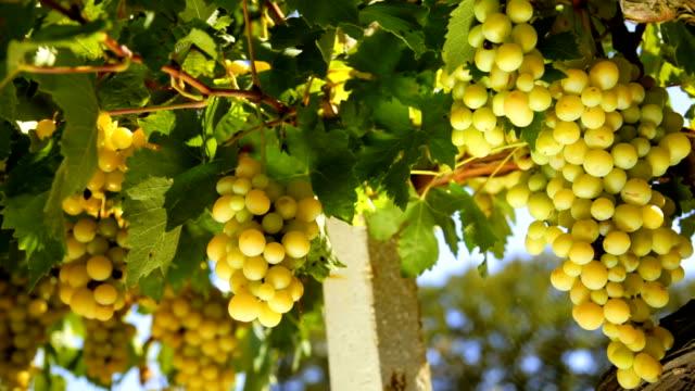 White wine grape video