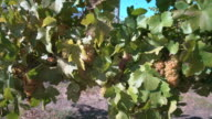White Wine Grapes on the Vine 4K UHD video