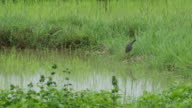 white-breasted waterhen in paddy field video