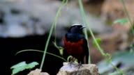 White-capped water redstart (Chaimarrornis leucocephalus) on the stone in nature video