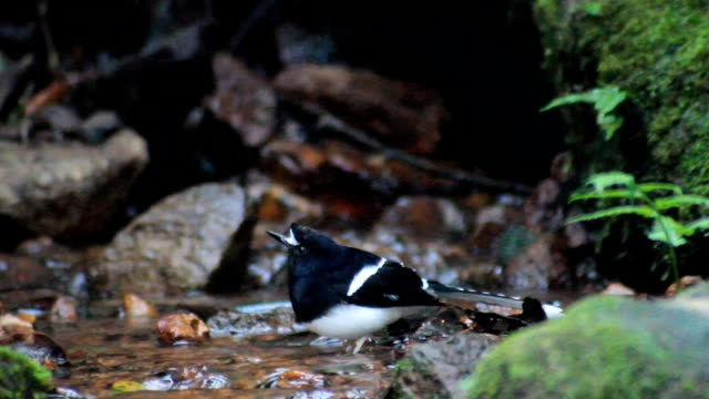 White-crowned Forktail in Natural water basins video