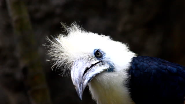White-crowned Hornbill in Thailand video