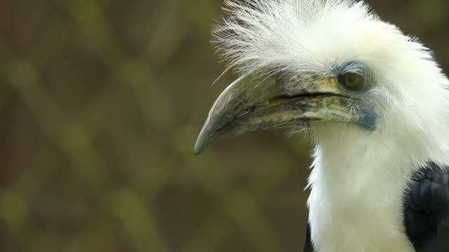 HD : White-crowned Hornbill video