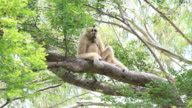 White-handed gibbon video
