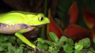White-lined Monkey Frog (Phyllomedusa vaillanti) video