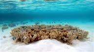 Whitetail dascyllus on coral - Maldives video