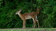 Whitetail deer fawns video