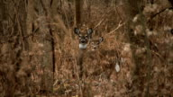 White-Tailed Deer #16 1080p HD video