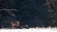White-tailed Deer and flock of Wild Turkey feeding video