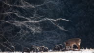 White-tailed Deer and Wild Turkey feeding in the snow video