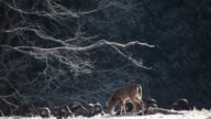 White-tailed Deer and Wild Turkey feeding in the winter video