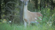 White-tailed Deer video