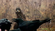 White-tailed eagle on carrion. Fog. video