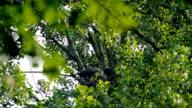 White-tailed Eagle video