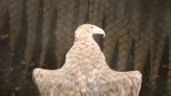 SLOW MOTION: White-tailed sea-eagle bask under a sun (back view) video