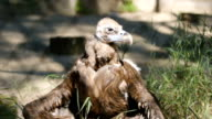 SLOW MOTION: White-tailed sea-eagle's chik bask under a sun video