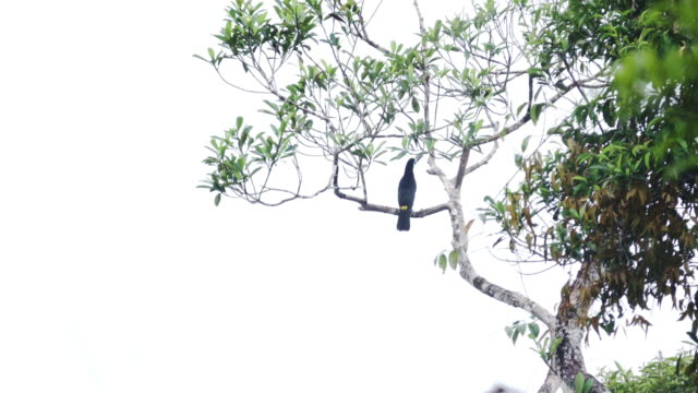 White-Throated Toucan Stand On Branch For Looking Something. video
