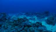 Whitetip reef shark, coral reef, undersea video