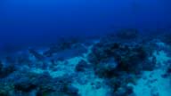 Whitetip reef shark swimming on seabed of deep sea video