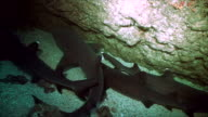 whitetip reefsharks in cave, sleeping, cocos island video