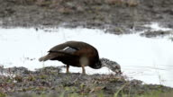 White-winged duck video