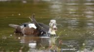 White-winged wood duck video
