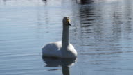 Whooper swan on water video