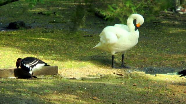Whooper Swan standing on the bank of the stream, he cleans its feathers video