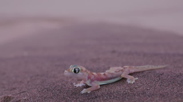 4K wide angle shot of web footed/Palmato gecko in desert habitat video