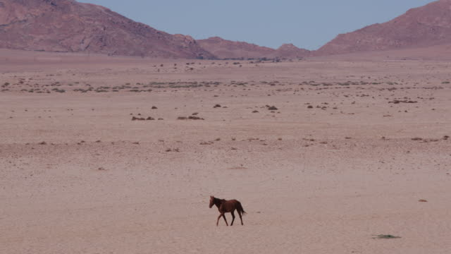 4K wide angle view of wild horses walking through the desert landscape video