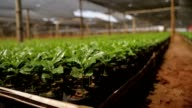 Wide closeup from ground perspective of organic coffee plantation video
