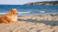 Wide shot of a beautiful golden retriever dog relaxing on the beach video