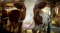 Wideangle distorted Cow Muzzle video