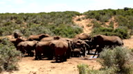 Wild African Elephants at Watering Hole video