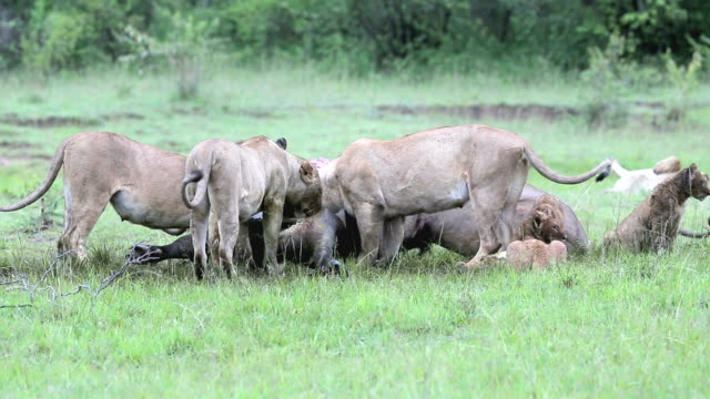PART 12 -Wild African Lion eating a freshly killed Buffalo video