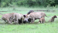 PART 11 - Wild African Lion eating a freshly killed Buffalo video