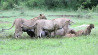 PART 13 - Wild African Lion eating a freshly killed Buffalo video