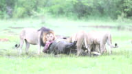 Wild African Lion eating a freshly killed Buffalo video