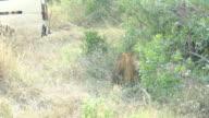 Wild African Lion resting video