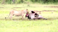 Wild African Lioness eating a freshly killed wildebeest video