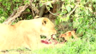 Wild African Lioness feeding video