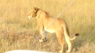 Wild African Lioness hunting video