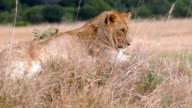 Wild African Lioness resting after preying video
