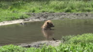Wild Bear Playing in Water video