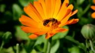 Wild bees picking pollen video