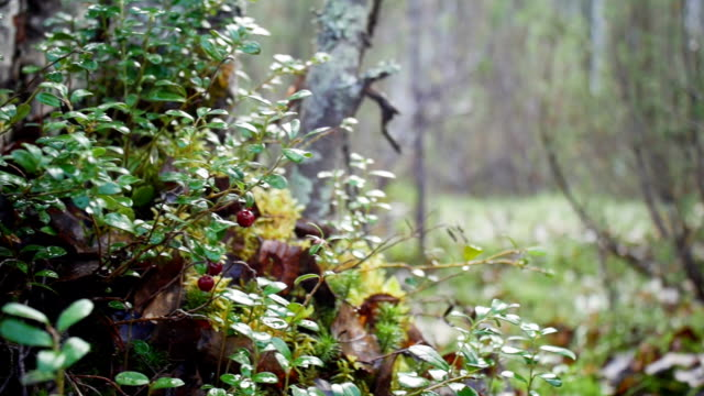 Wild berry cranberries growing in forest video