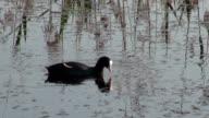 wild bird coot (Fulica atra) on lake water video