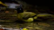 Wild bird drinking and splashing water video